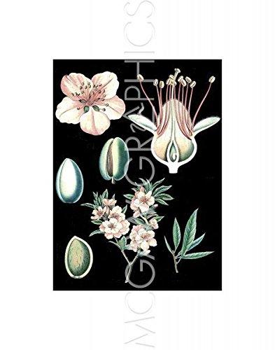 "German Educational Plate: Prunus Amygdalus By Vintage Reproduction Art Print Poster 11"" X 14"""