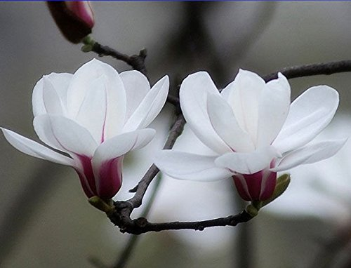White Yulan Magnolia Tree Seeds, Professional Pack, 10 Seeds / Pack, No Need Grafting Growing White Flowers Directly