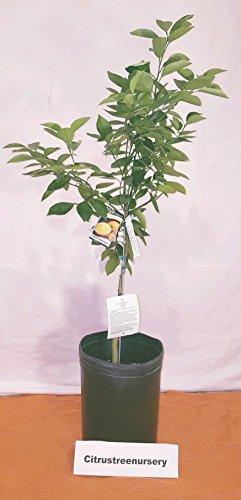 Meyer Lemon Tree Potted Fruiting