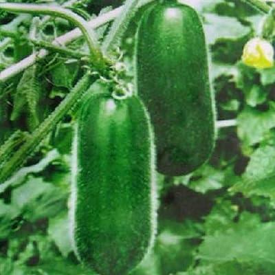 Pinkdose 10seeds pequeñas semillas de melón de invierno en maceta ...