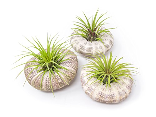 Air Plant Sea Urchin Kit (3 Pack) - Natural Shell Containers / Holders for Live Tillandsia - Large Green Stand / Jellyfish Pot for Indoor Home Decor by Aquatic Arts