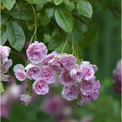 Live Plant 7 Sisters Pink Rose Bush Heirloom Climbing Baby Rambler MULTIFLORA by Grandiosy : Garden & Outdoor