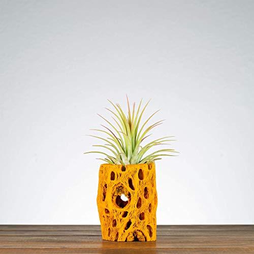 Orange Cholla Air Plant Holder, Indoor Planter, Plants for Desks, Shelf Plants, Air Plants, Air Plant Displays, Unique… 1