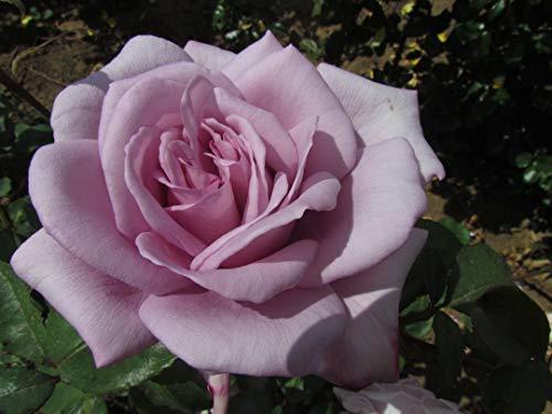 Twice in a Blue Moon Hybrid Tea Rose Bush in 4lt Pot Live Plants