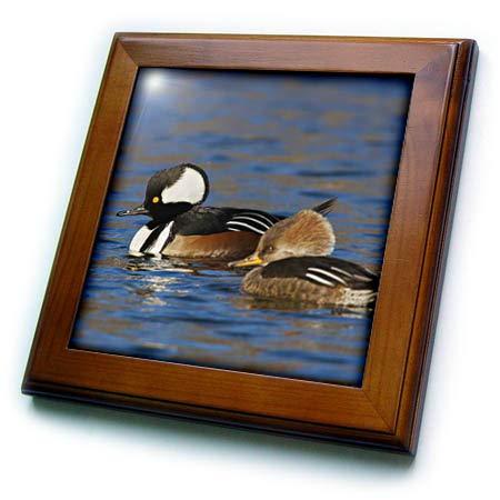- 3dRose Danita Delimont - Ducks - Hooded Merganser Pair - 8x8 Framed Tile (ft_313957_1)