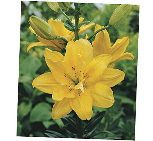 VERR Yellow FATA Morgana Double Asiatic Lily Bulbs - RK315 (5 -