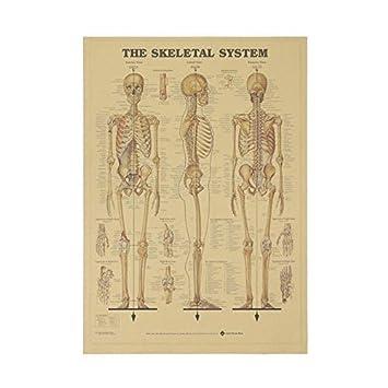 Amazon.com: El esqueleto de la estructura del Cuerpo Sistema ...