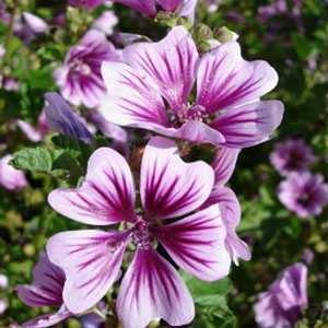Outsidepride Hollyhock Zebrina Plant Flower Seed - 500 Seeds