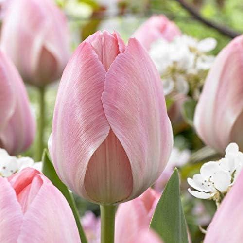 10 Humphreys Garden Darwin Hybrid Tulip Lady Van Eijk Bulbs.Size 10//11