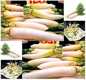 PlenTree (50) japonesa Daikon - Semillas de rábano daikon: Amazon.es: Alimentación y bebidas