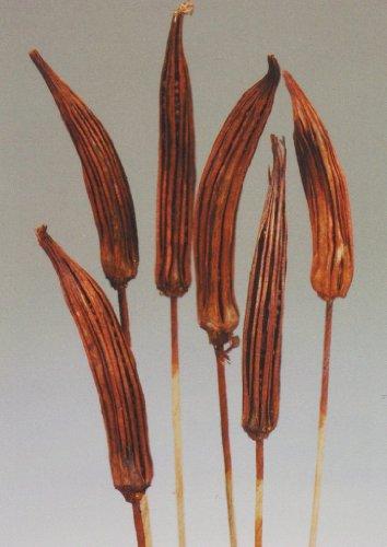 Pecan Accent - Green Floral Crafts Okra Pod 19