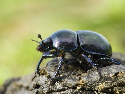 Dor Beetle on Dung