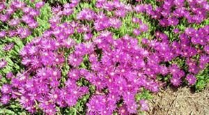 (10 Count Flat - 4.5' Pots) Purple Iceplant (Groundcover) Green Fleshy Foliage with Vibrant Purple Daisy-like Flowers 849545