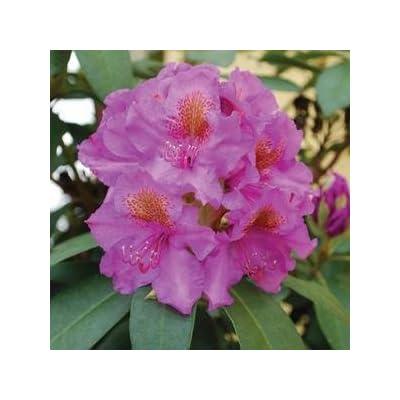 Rhododendron-Dandy-Man-Purple - QT Pot (Shrub) : Garden & Outdoor