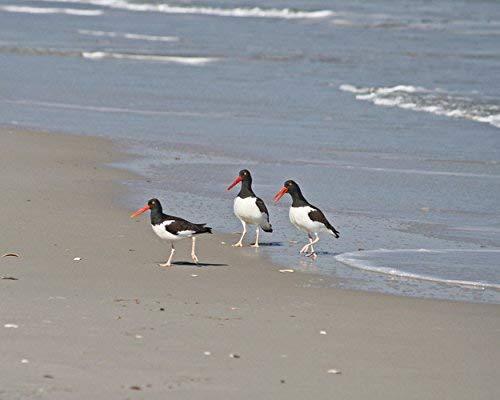 "Shorebird Photo - Coastal Art Print -""Oyster Catcher Trio"" - Beach Photography"