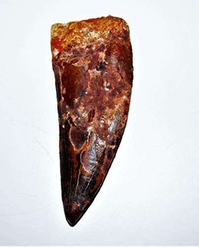 Carcharodontosaurus Dinosaur Tooth 4.313'' Fossil African T-Rex XLDB #14159 22o by Fossils, Meteorites, & More (Image #2)