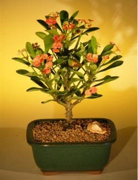 Amazon Com Bonsai Boy S Flowering Crown Of Thorns Bonsai Tree Pink Red Euphorbia Milii Bonsai Plants Grocery Gourmet Food