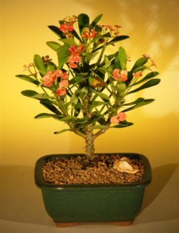Red Flowering Trees - Bonsai Boy's Flowering Crown of Thorns Bonsai Tree - Pink Red euphorbia milii