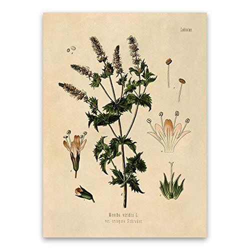 (Spearmint Plant Print - Mint Botanical Illustration Poster)