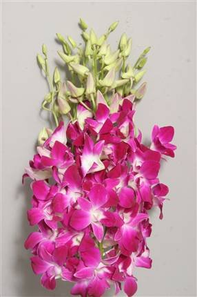 Mazzo Di Fiori Orchidee.Mazzo Di Orchidea Dendrobium Fuxia Amazon It Giardino E