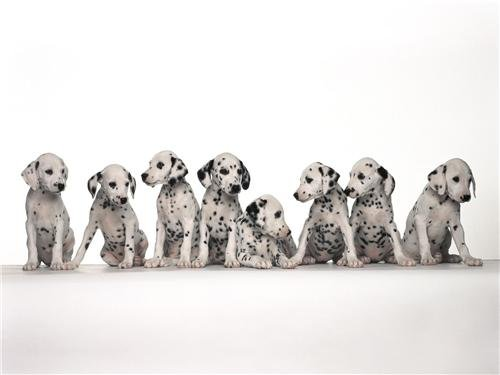 DALMATION PUPS GLOSSY POSTER PICTURE PHOTO dog 101 puppy puppies cute - Cute Pictures Of Puppies