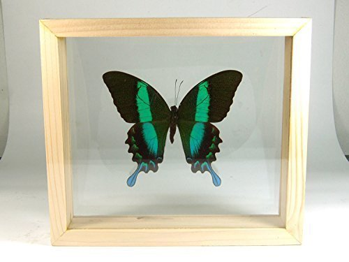 PAPILIO BLUMEI Butterfly Taxidermy Display in Double Side Glass Frame by Thai Productz