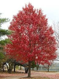 ((1 Gallon) RED MAPLE tree- Beautiful Red Foliage,Features For Every Season. Fast-growing and Very Tolerant of a Variety of Soils. Bare-root,)