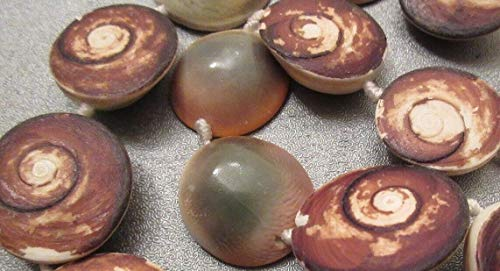 - Rough Indonesia Eye of Shiva Shell Beads 7pcs #ID-152
