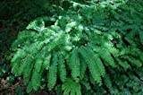 Maidenhair Fern Plant - Get 3 Plants for the Price of 1