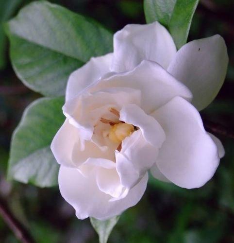 50 Cape Jasmine Gardenia Seeds Flower Seeds (Jasmine Cape Gardenia)