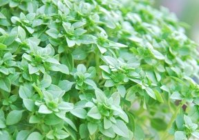 (Basil Herb Seeds- Dwarf Greek- 300+ Seeds)