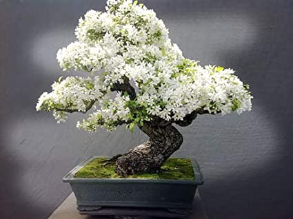 Amazon Com Bonsai Tree Seeds White Lilac 20 Seeds Highly Prized For Bonsai Fragrant White Flowers Garden Outdoor