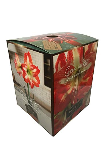 Amaryllis Minerva Holiday Gift Growing Kit. Includes: Big Minerva Bulb, plastic pot and saucer, and Professional Growing Medium