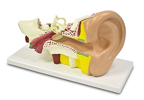 Walter Products B10402 Ear Model, 4X Life Size, - Diagram Parts The Ear Of