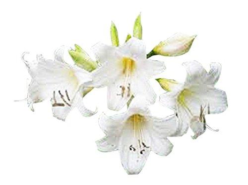 Special Sale: 1 Large Bulb - White Amaryllis Belladonna - White Naked Lady for Outside (Bulb Amaryllis Sale)