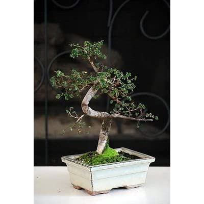 New and Fresh Chinese Elm Bonsai Tree 10 years old specimen, 10