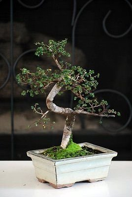 New and Fresh Chinese Elm Bonsai Tree 10 years old specimen, 10'' - 12'' tall Mature Bonsai