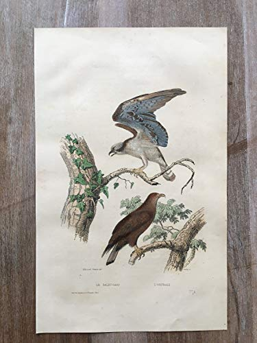 - 1870 Bird Original Antique Engraving, Hand Colored Engraving, Birds Engraving, Bird Art, Antique Bird Print, Antique River Hawk Print Art