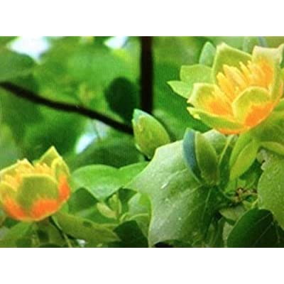 AchmadAnam - Live Plant - Spring is here! 2 Tulip Poplar Trees, Shipping Now! Trees. E18 : Garden & Outdoor