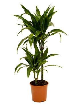 Drachenbaum, Dracaena janet craig, ca. 100 cm, pflegeleichte Zimmerpflanze, 19 cm Topf