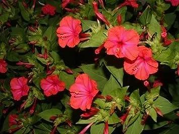 Four O/'clock Mixed Colors Flower Seeds Packet Mirabilis jalapa Marvel of Peru
