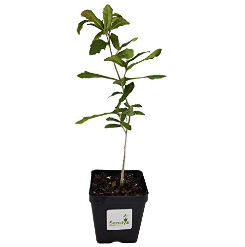Used, Sandys Nursery Online Live Oak Quercus virginiana Tree for sale  Delivered anywhere in USA