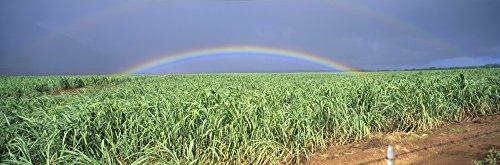 Rainbow Over Sugar Cane - Hawaii Maui Double Rainbow Over Sugarcane Field Full Length Panoramic A21D Poster Print (36 x 12)