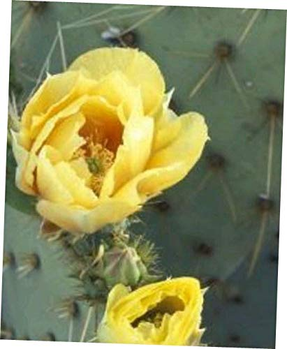 HYII 2 pad, Eastern Prickly Pear Cactus Plant 2 Healthy CUTTINGS 5