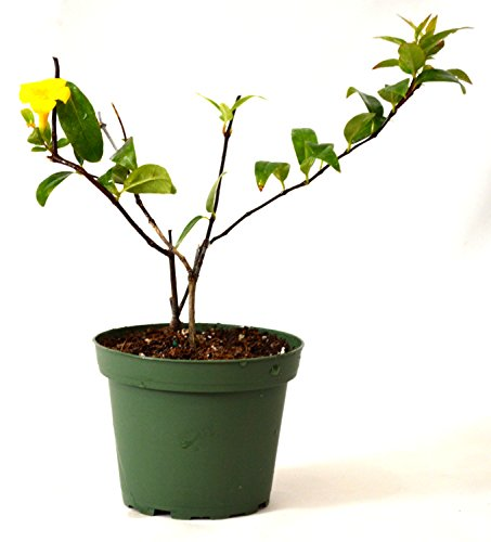 9GreenBox - Carolina Jasmine - 4 Pot
