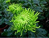 ADB Inc 50 Seeds Green Spider Chrysanthemum Courtyard Flower Seeds