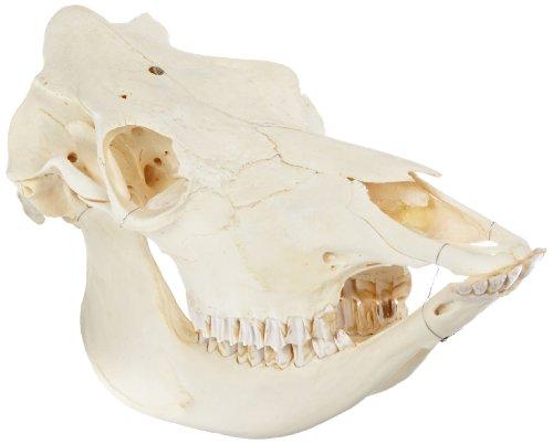 3B Scientific T30015 Cow Skull (Bos Taurus) by 3B Scientific