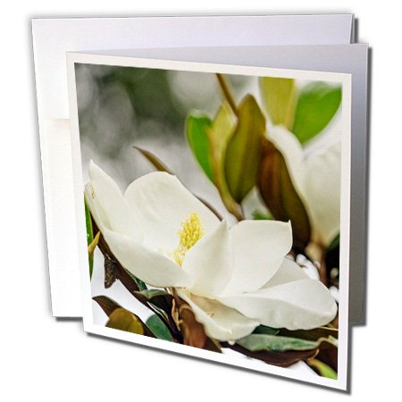Boehm Photography Flower - Magnolia Flower in the garden - 6 Greeting Cards with envelopes (gc_245578_1)