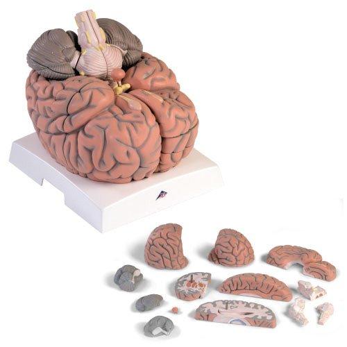 贅沢品 脳2.5倍大14分割断面観察モデル 2.5(23-7757-00)VH409 B01KDPKUFQ B01KDPKUFQ, ペイントショップウエダヤ:c836aac3 --- a0267596.xsph.ru
