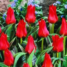 50 x Red Riding Hood Rockery Tulip Bulbs